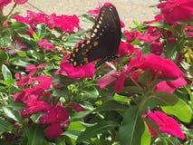 Farfalla di coda di rondine sui fiori di rosa caldo Fotografie Stock Libere da Diritti