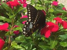 Farfalla di coda di rondine sui fiori di rosa caldo Immagini Stock Libere da Diritti