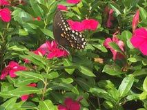 Farfalla di coda di rondine sui fiori di rosa caldo Fotografia Stock Libera da Diritti
