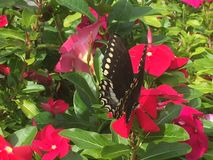 Farfalla di coda di rondine sui fiori di rosa caldo Immagine Stock