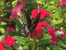 Farfalla di coda di rondine sui fiori di rosa caldo Immagine Stock Libera da Diritti