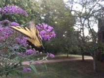 Farfalla di coda di rondine sul cespuglio di farfalla Fotografie Stock Libere da Diritti