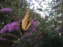 Farfalla di coda di rondine sul cespuglio di farfalla Immagine Stock