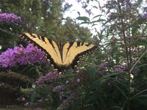 Farfalla di coda di rondine sul cespuglio di farfalla Immagini Stock Libere da Diritti