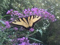 Farfalla di coda di rondine sul cespuglio di farfalla Fotografia Stock Libera da Diritti
