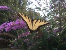 Farfalla di coda di rondine sul cespuglio di farfalla Immagine Stock Libera da Diritti