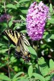 Farfalla di coda di rondine sul cespuglio di farfalla porpora Fotografia Stock Libera da Diritti