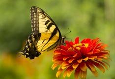 Farfalla di coda di rondine sul fiore fotografia stock libera da diritti