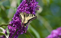 Farfalla di coda di rondine sul lillà Immagini Stock