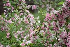 Farfalla di coda di rondine sul Weigela immagini stock