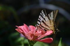 Farfalla di coda di rondine sulla zinnia rosa Fotografia Stock