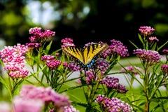 Farfalla di coda di rondine sulle fioriture Fotografia Stock Libera da Diritti