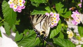 Farfalla di coda di rondine della zebra sul movimento lento di Camara Flowers 09 della lantana archivi video
