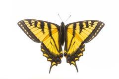 Farfalla di coda di rondine - isolata su bianco immagini stock