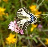 Farfalla di coda di rondine su un fiore Fotografia Stock