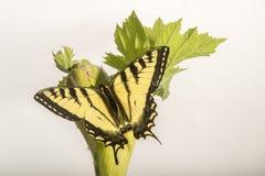 Farfalla di coda di rondine sulla pastinaca di mucca - isolata su bianco immagine stock