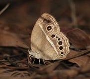 Farfalla di colore marrone del cespuglio del sud della Cina Fotografia Stock
