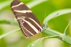 Farfalla di Costa Rican Fotografia Stock Libera da Diritti