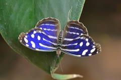 Farfalla di Cyaniris Bluewing fotografia stock libera da diritti