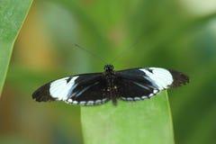 Farfalla di Cydno Longwing Fotografia Stock Libera da Diritti