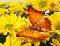 Farfalla di distanti di Charaxes Fotografia Stock Libera da Diritti