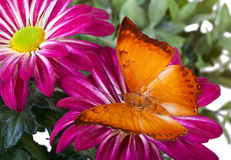 Farfalla di distanti di Charaxes Fotografie Stock