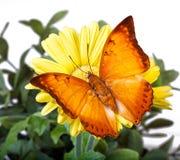 Farfalla di distanti di Charaxes Immagini Stock Libere da Diritti