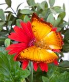 Farfalla di distanti di Charaxes Immagine Stock