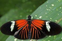Farfalla di Doris Longwing Immagini Stock