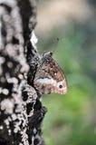 Farfalla di fagi di Hipparchia Fotografia Stock