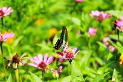 Farfalla di fioritura Fotografia Stock
