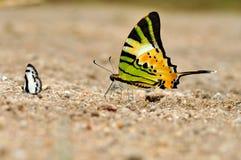 Farfalla di Fivebar Swordtail Immagine Stock Libera da Diritti