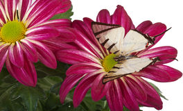 Farfalla di Fourbar Swordtail Immagine Stock Libera da Diritti