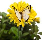 Farfalla di Fourbar Swordtail Fotografia Stock