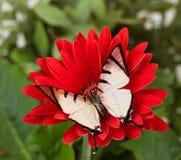 Farfalla di Fourbar Swordtail Immagini Stock
