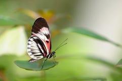 Farfalla di galleggiamento di tasto del piano Fotografie Stock
