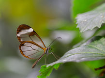 Farfalla di Glasswing Fotografie Stock