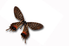 Farfalla di gloria del Bhutan Immagini Stock