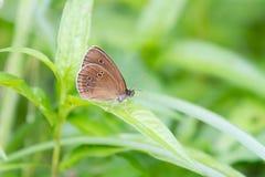 Farfalla di glycerion di Coenonympha Fotografia Stock