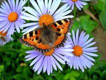 Farfalla di guscio di testuggine Fotografia Stock Libera da Diritti