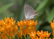 Farfalla di Hairstreak comune fotografie stock libere da diritti