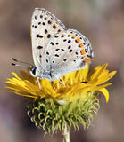 Farfalla di Hairstreak di California su un fiore giallo Fotografie Stock