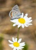 Farfalla di Hairstreak di California sul fiore della margherita Fotografia Stock