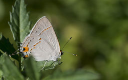 Farfalla di Hairstreak grigia Immagine Stock