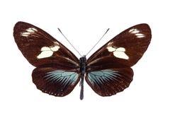 Farfalla di Heliconius fotografia stock libera da diritti