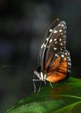 Farfalla di Heliconius Hecale Immagine Stock