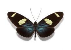 Farfalla di Heliconius Sara Fotografia Stock Libera da Diritti
