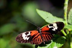 Farfalla di Heliconius sulla foglia verde Immagine Stock Libera da Diritti
