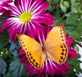 Farfalla di Howqua Immagine Stock