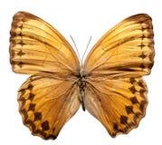 Farfalla di Howqua Fotografia Stock Libera da Diritti